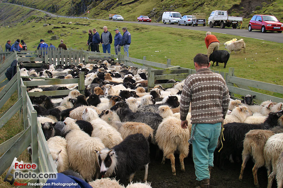 Strzyżenie owiec na Wyspach Owczych