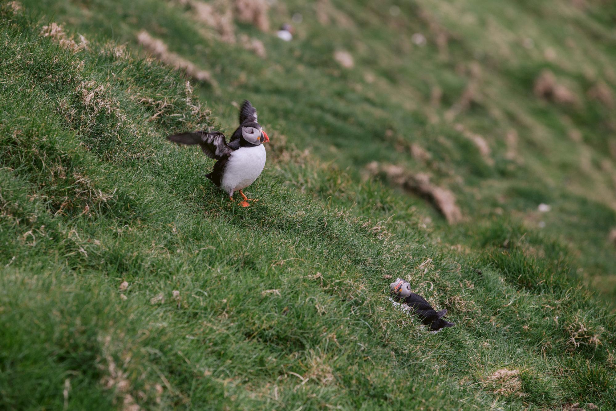 Maskonur suszy skrzydła na Mykines na Wyspach Owczych