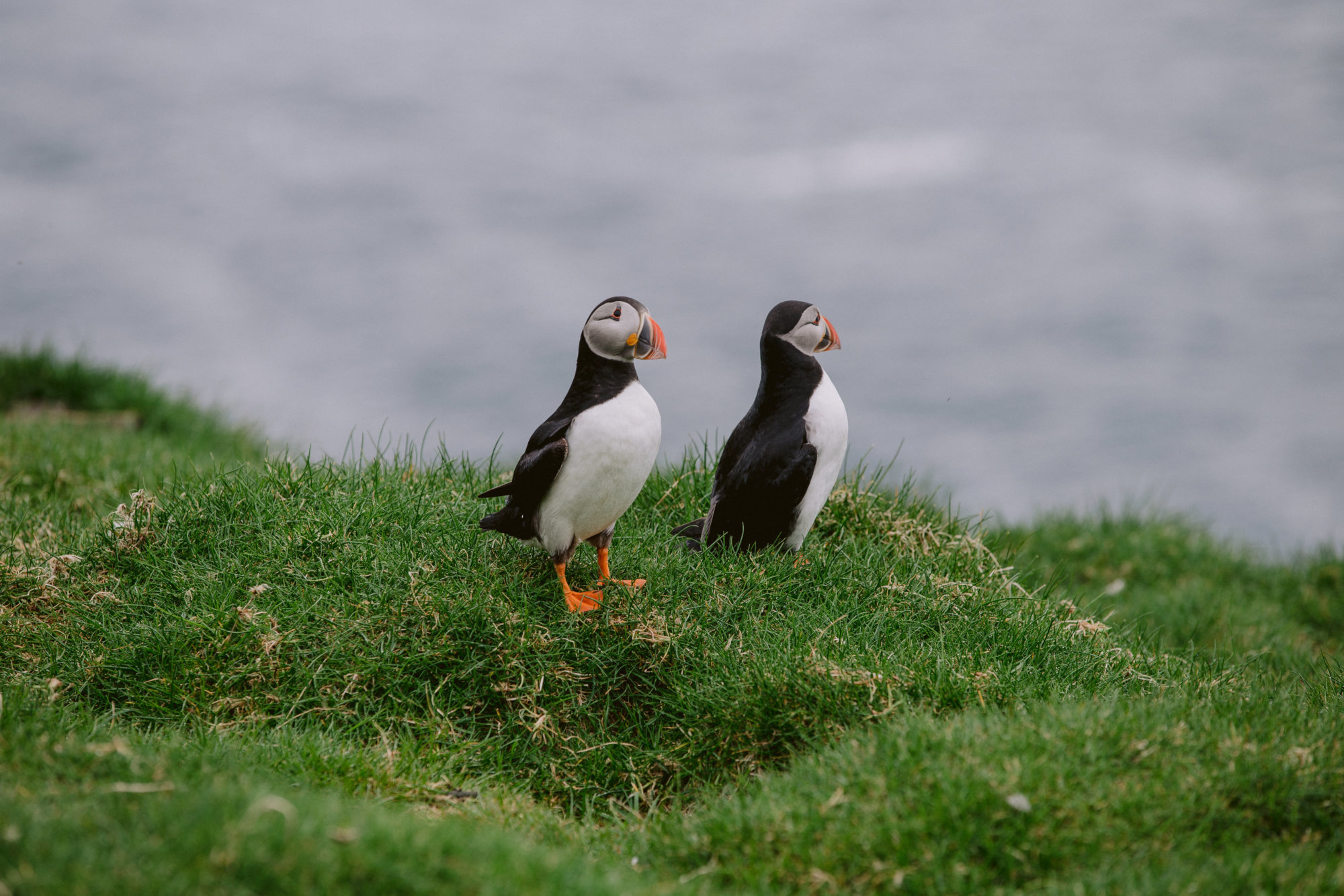 Para Maskonurów na Mykines w archipelagu Wysp Owczych