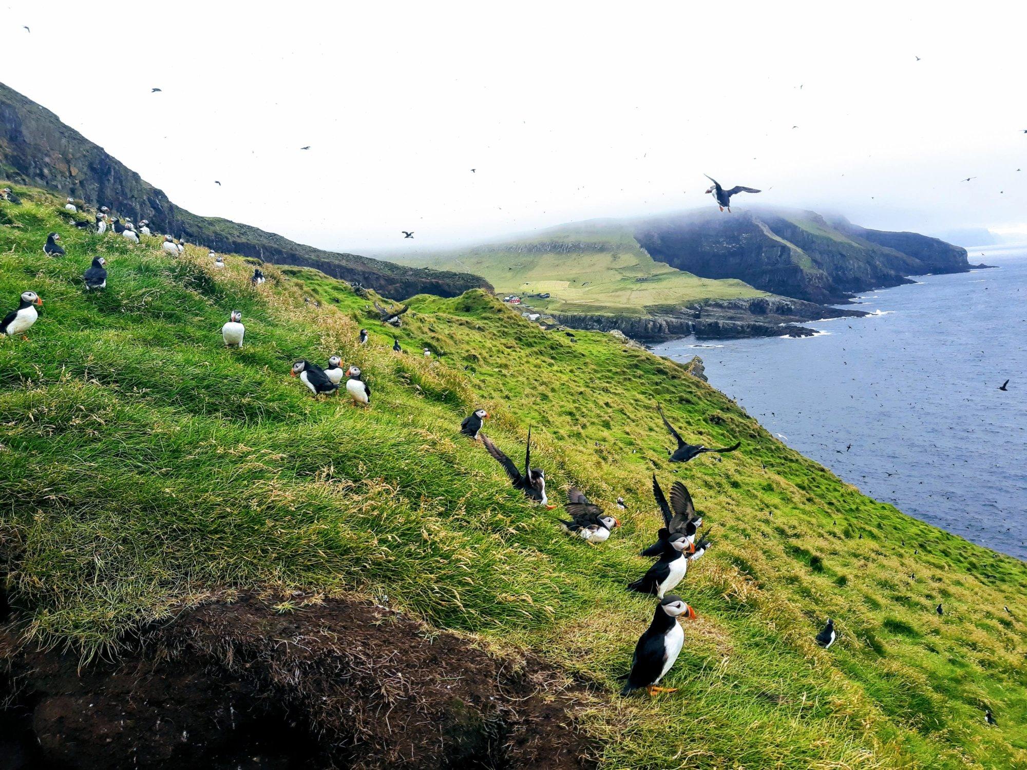 Tysiące maskonurów na wyspie Mykines